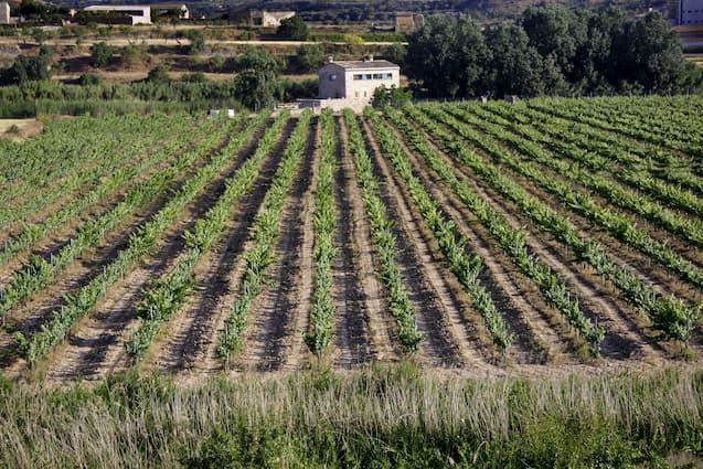 Imatge amb les vinyes i la casa de fons