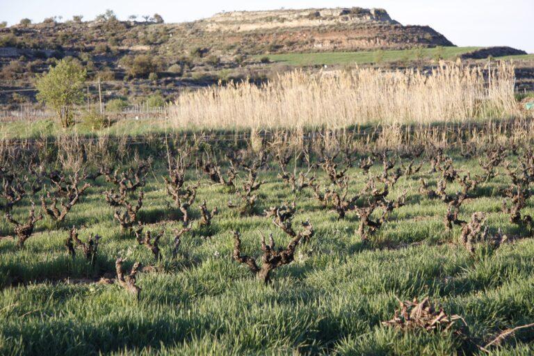 Imatge de les vinyes